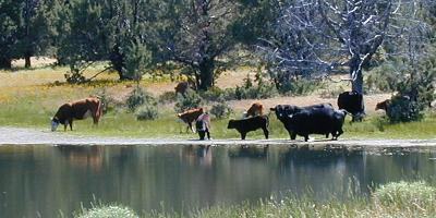 Cows in the lake, at the 3rd Owyhee Rendezvous