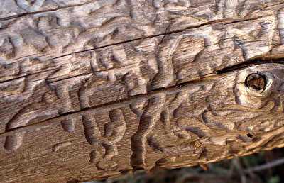 Bark beetle tracks in wood