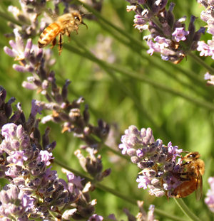 Bees busy in our lavender