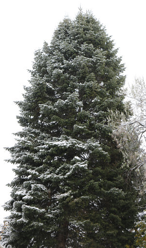 Fir in first snow