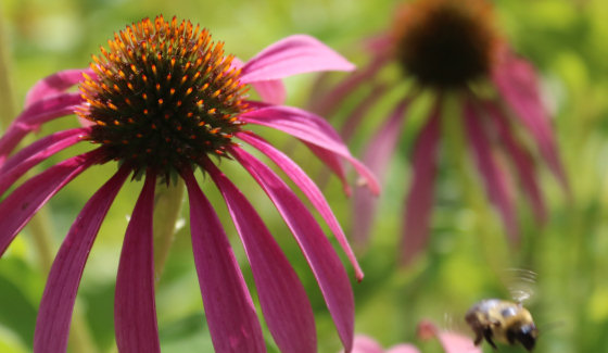 Bumble bee and coneflowers