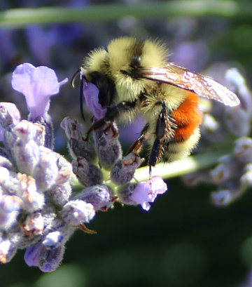 Bombus huntii in lavender, July 2018