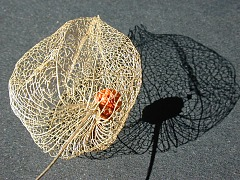Chinese lantern, after decay