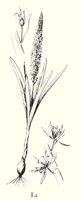 C. cusickii drawing from Hitchcock and Cronquist