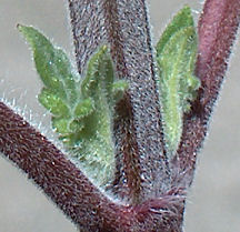 The axiliary buds in a stalk of catnip, up close and personal