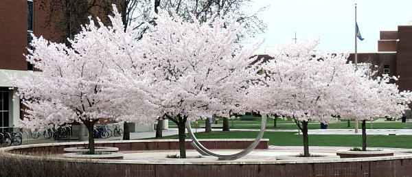 Full bloom on the BSU campus, April 6