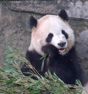 An adult panda at the Chongqing zoo