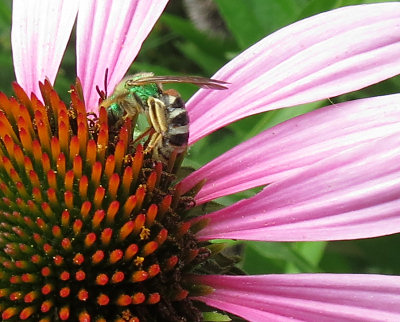 Working the coneflower in our front yard