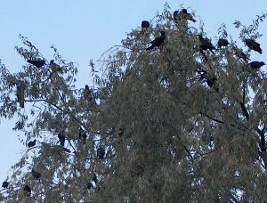 Some of the crows gathering in our Russian Olive yesterday evening