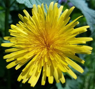 Just a dandelion