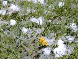 Half-inch graupel and a wilted dandelion in our lawn
