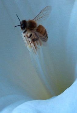 Honeybee, working over the anthers of a Datura flower