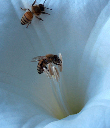Honeybees in a Datura flower, 2004