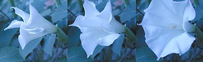 3 minutes in the life of a Datura blossom, opening in the twilight