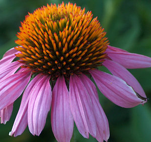 One of this year's first coneflowers in our yard