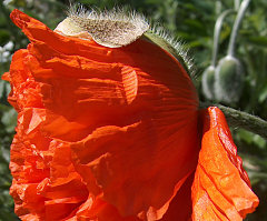 First poppy of 2008, freshly popped