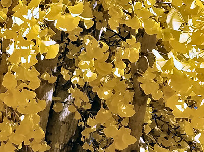 Ginkgo in gold, Nov. 2016