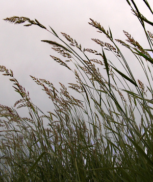 Palouse grass in June