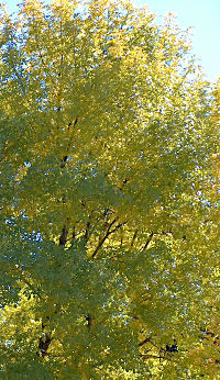 Morning light through a maple, turning, yesterday