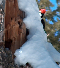 Glimpse of a red-headed woodpecker