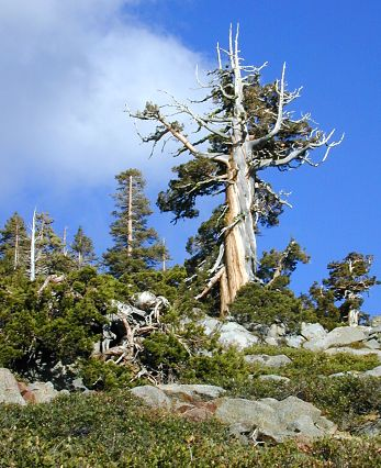 Half snag and half pine on Mt. Judah, above Donner Pass