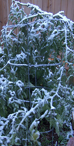 Snow on tomato plants, Oct. 10