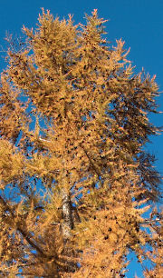 Our larch, turned gold in fall 2005