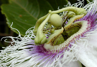 Passion flower, Kauai, 2001
