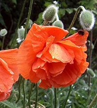 Poppies, after rain. Memorial Day, 2010