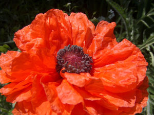 One of our (purely decorative) poppies
