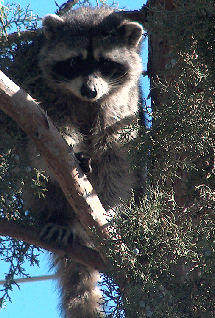 15 or 20 pound racoon, treed by the author