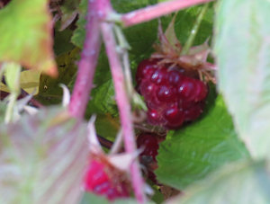 Late October raspberries