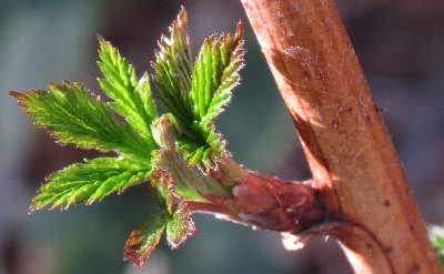 Raspberry cane leafing out, late March 2013