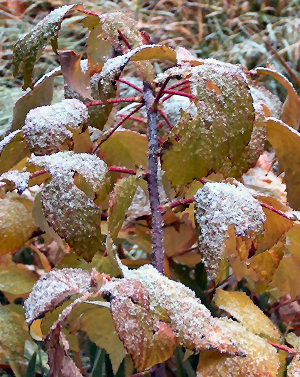 Raspberry leaves in first snow, Nov. 20