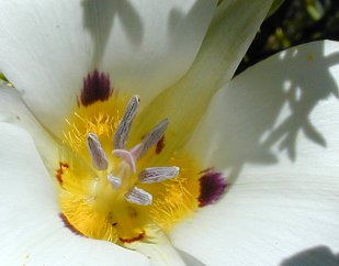 The heart of a Sego lily, in the Owyhee Canyonlands