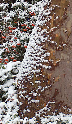 Snow on our sycamore and pyracanthus berries