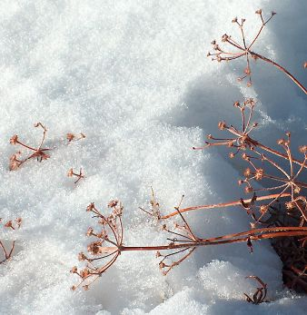 Dried umbels in snow, 2004