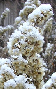 Old goldenrod, new snow, Feb. 2002