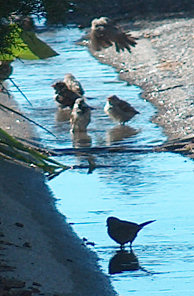 Sparrow pool party, in the gutter next door