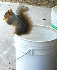 Enjoying an acorn while standing on the lip of a bucket