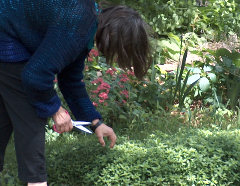 Jeanette cutting oregano for lunch, May 2012