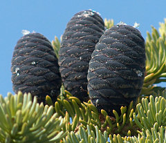 Subalpine fir cones, at the top of a small tree
