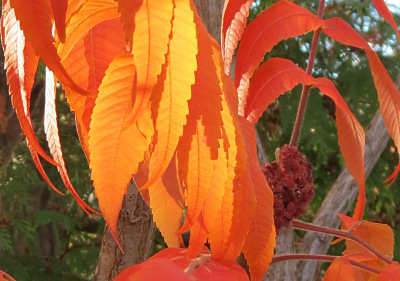 Neighbor's sumac, at its 2012 fall moment