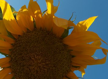 One of our volunteer sunflowers