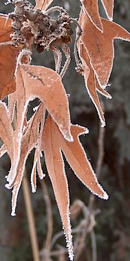 January Sycamore leaves tinged with hoarfrost