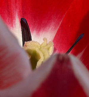 Deep in the heart of a red and white tulip