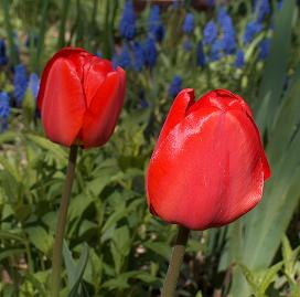 Two red tulips in sunshine