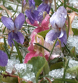 Violets in the late March snow, elev. 2,700'