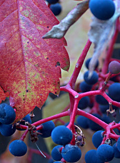 Virginia creeper (wild grape), turning, with fruit