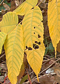 Walnut leaflets, turning yellow, 2007